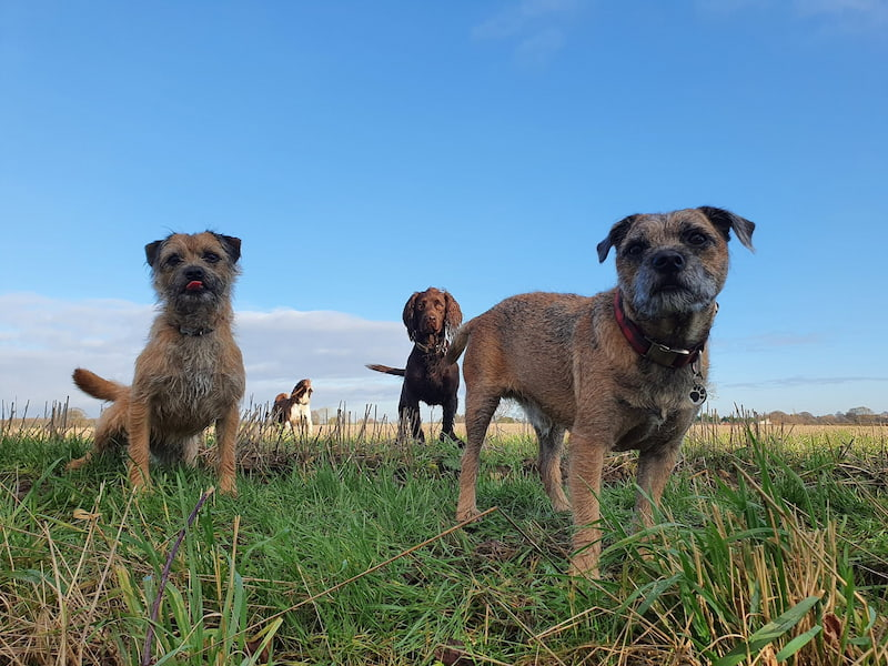 Four dogs out walking near York